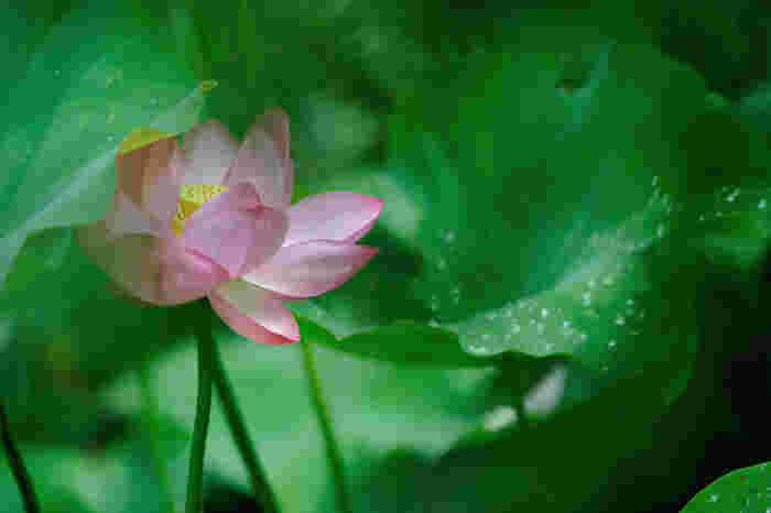 春のミズバショウにカタクリ。初夏のツツジやアヤメ。ニッコウキスゲやサンショウバラ。梅雨のアジサイやノハナショウブ。夏から秋は、キキョウにリンドウ、ワレモコウと、多種多様な可憐な花々が咲き開きます。【蓮の花(8月中旬撮影)】