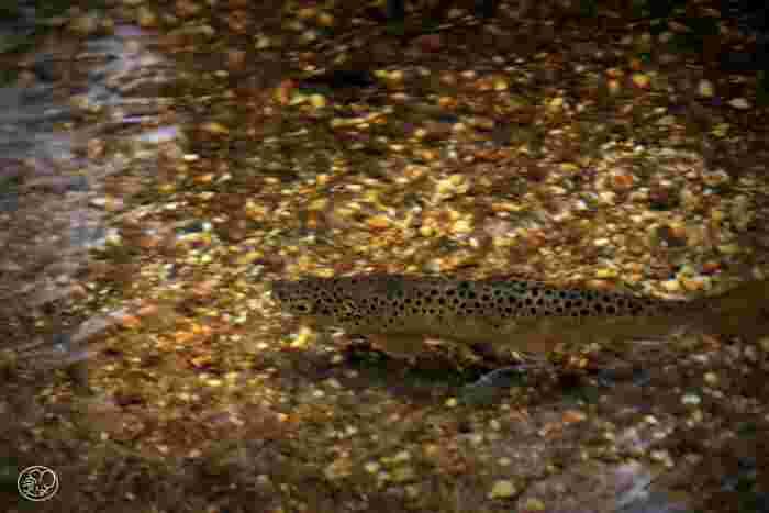 抜群の透明度を誇る田代池では、イワナなどの清流に住む淡水魚の姿を見かけることもできます。
