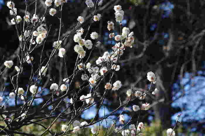 梅の木はあまり数は多くないですが、日本庭園と紅梅・白梅が風情ある情景を作り出しています。六義園でも1月中旬からロウバイが見られますよ。