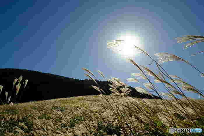 黄金色に色づいたススキの穂が、日の光を受けて美しく輝く「仙石原」。 樹木もなく広大な原野を開墾すれば千石もの穀物が穫れるだろと名付けられた「千石原村」が由来です。残念ながら、火山灰土壌と湿地のため穀物は穫れず、昔は屋根葺き用のカヤ(ススキ)を近隣の村に出荷していました。