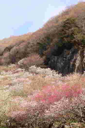4,000本もの梅の花が斜面を埋め尽くし、まるで絨毯のように咲き誇る「湯河原梅林」。