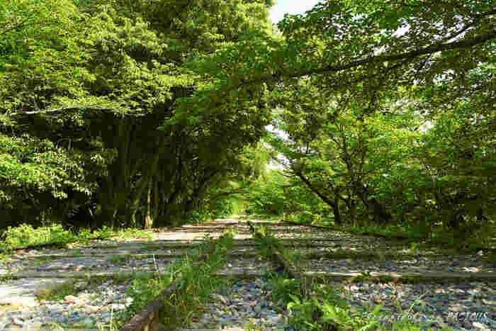 蹴上インクラインは四季折々で異なる表情を見せてくれます。桜が見頃を終え、初夏になると新緑のトンネルとなり、春とは異なる趣があります。