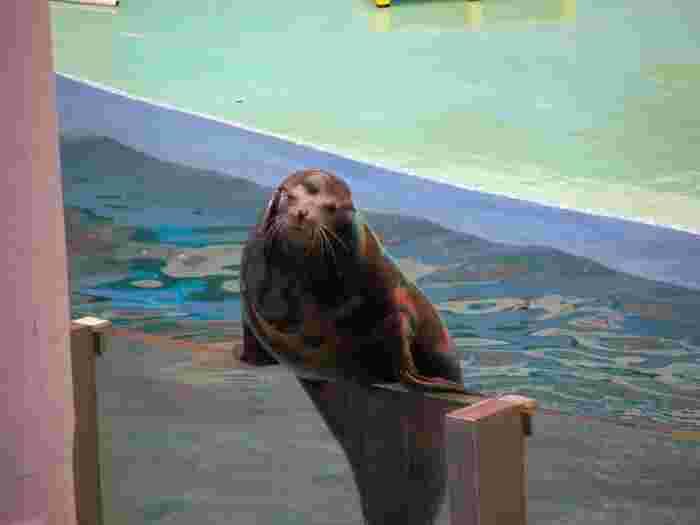 イルカショーが有名なアドベンチャーワールドですが、イルカ以外の動物ショーも開催されており、観客を楽しませてくれます。海の人気者、アシカのショーでは、アシカが水槽のヘリに登って、観客席に向かって手を振ってくれます。