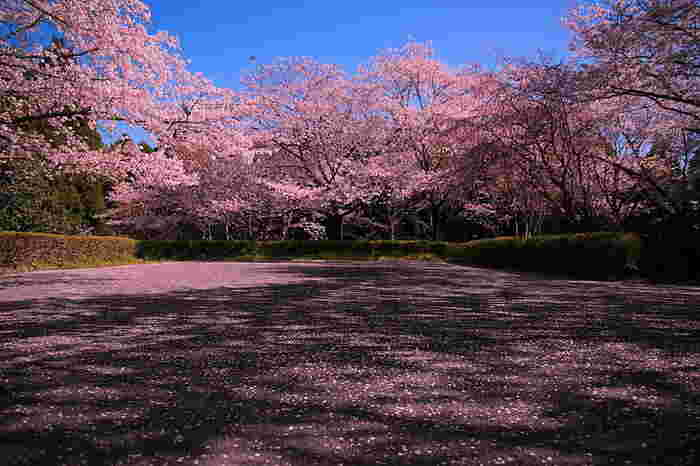 桜が散り始める頃になると、母智丘公園の桜並木は桜の花びらで覆い尽くされます。地面が見えなくなるほど桜の花びらで覆われた大地は、まるで桜色の絨毯を敷き詰められたかのようです。
