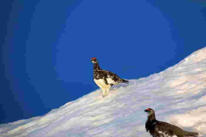 冬の唐松岳。真っ白な雪原に現れる雷鳥も…