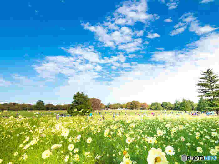 国営昭和記念公園で植栽されているコスモスの種類は多品種にわたります。レモンブライト、イエローキャンパス、イエローガーデンといった爽やかなレモン色のコスモスが競うように花を咲かせる様は壮観です。