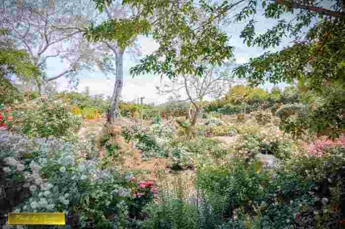 よく手入れされたバラ園は、まるでイングリッシュガーデンのようです。可憐なバラが咲き誇るバラ園に一歩足を踏み入れると、イギリス児童文学の傑作「秘密の花園」の世界に迷い込んだような気分を覚えます。