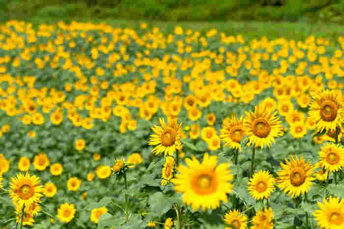 埼玉県熊谷市妻沼にある「利根川の恵  遠藤ファーム」。環境負荷の低減に配慮した環境・ひと・ミツバチにやさしい農業を目指している、野菜とハチミツ農家さんです。  コロナの影響で、開催中止となるひまわり畑さんが多かった2020年の夏ですが、「遠藤ファーム」は9月の秋頃からミツバチ用に育てていた100万本のひまわり畑を、コロナ対策を実施したうえで、一般の方に向けて無料開放しました。ヒマワリ迷路も楽しめて、知る人ぞ知る穴場として注目を集めました*  (画像はイメージです)