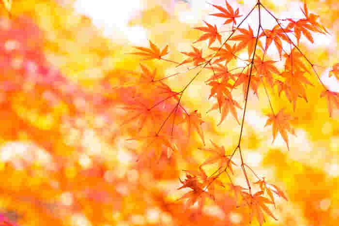 行楽の秋、紅葉を愛でに鎌倉へ出掛けてみませんか? 今回は、鎌倉の紅葉スポットとして有名な江ノ電の長谷駅「長谷寺」、鎌倉駅「妙本寺」、北鎌倉駅「円覚寺」、そして、鎌倉駅からバスに乗って行く「覚園寺」と「獅子舞谷」もご案内します♪