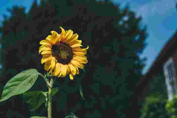 8月の花:ひまわり
