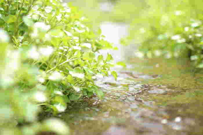 3月が旬の緑鮮やかな「クレソン」はお肉料理に添えられている脇役のイメージが強いですが、実はカロテンやビタミンC、鉄分、カルシウム、リンなど栄養価も豊富で女性に多く見られる貧血の予防効果が期待できる食材です。そのほかにも緑が美しく独自の香りが印象的な「ニラ」も同じように栄養価が高く新生活を送る上でなくてはならないスタミナを与えてくれるパワーみなぎる野菜の一つなんですよ。