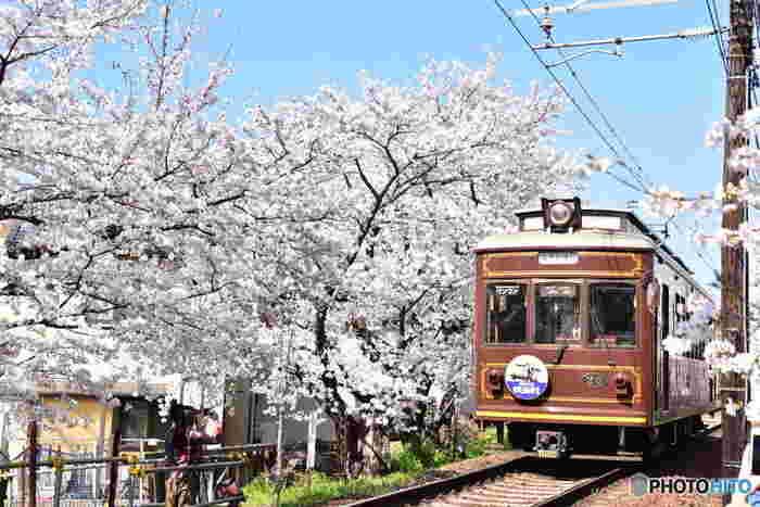 嵐電の鳴滝駅~宇多野駅間には、線路の両脇に桜並木が立ち並び「桜のトンネル」と呼ばれています。 毎年これを見るために多くの観光客が嵐電に乗り、車内からお花見を楽しんでいます。また桜が満開になる時期に合わせライトアップが行われ、車内灯を消灯し車窓から夜桜を眺めることができる「夜桜列車」も運行されます。日中とは違った幻想的な風景を楽しむことができます。