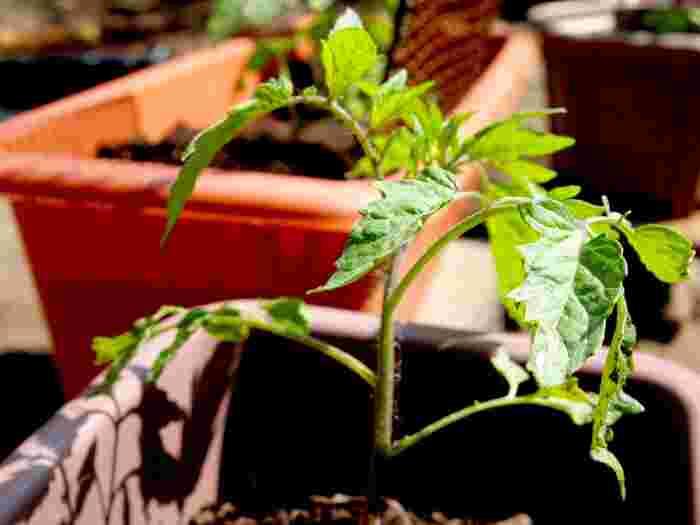 トマトは、畑の中に植えると2mほど根をはるので、プランターは少なくとも縦・横・奥行きが30cmよりも大きく、土がたくさん入るものを選びましょう。