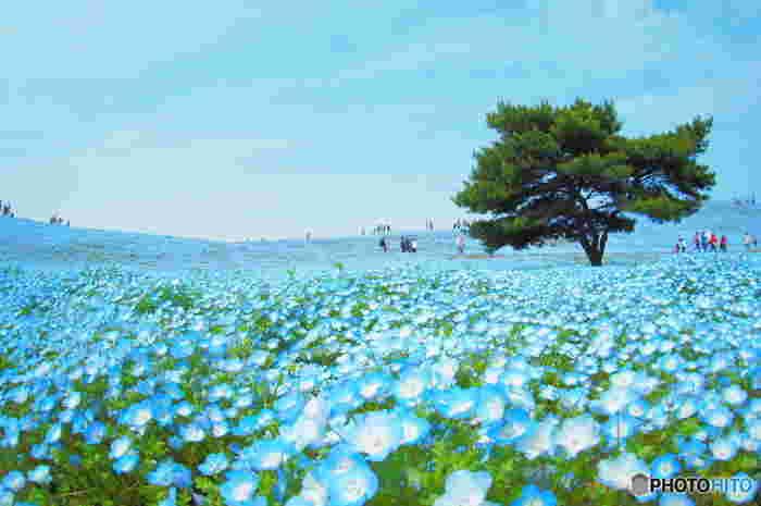 まるで夢を見ているかのような光景が広がる見晴らしの丘。ネモフィラの真ん中に立てば天国に来てしまったかと思ってしまうほどです。  見晴らしの丘を頂上まで登ると太平洋が見渡せます。海とネモフィラと空の青、それぞれ絵の具では出せない、圧倒されるような青。