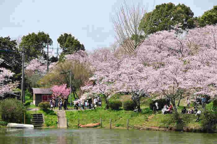福岡県朝倉市にある「甘木公園」は、総面積31万7,000平方mの広さを誇る公園です。桜池やもみじ池を囲むように、ソメイヨシノやヤマザクラなど約4,000本の桜が咲き誇ります。