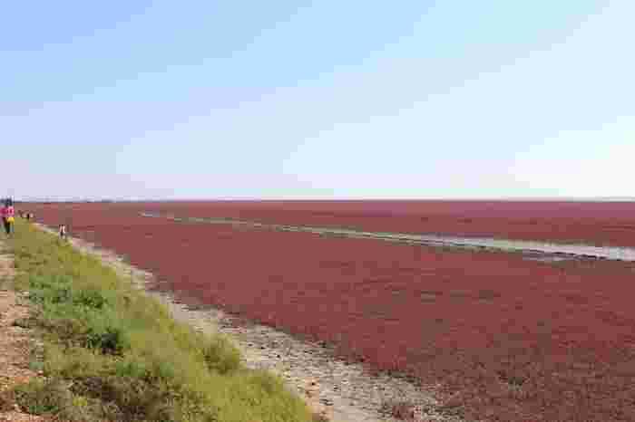 中国北部に位置する遼寧省盤錦市の紅海灘では、この地で自生しているマツナという海藻が紅葉し、大地を覆い尽くします。地平線まで続く広大なマツナの紅葉は、大地に紅色の絨毯を敷き詰めたかのようです。
