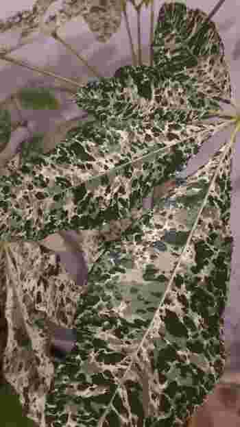斑入り(ふいり)のパキラは、葉に迷彩柄のような美しい模様が浮かび上がります。斑のないものに比べデリケートなので、直射日光や低温には注意が必要です。