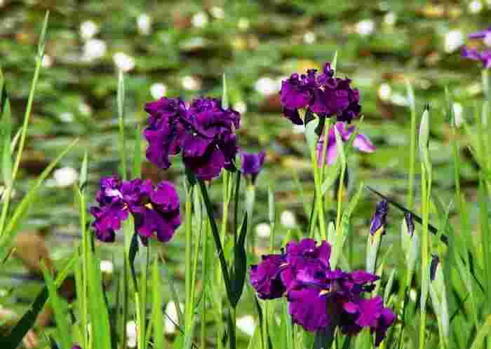 毎年6月頃になると、園内に植えられている約10000株を超える花菖蒲が一斉に見頃を迎え、訪れる人々を魅了してくれます。
