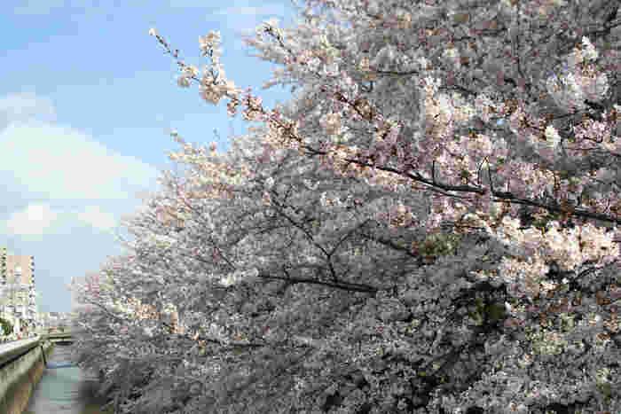 都内の超・穴場スポットとも言えるのが、練馬高野台駅(西武池袋線)・石神井川沿いの桜並木。近隣住民の方以外にはあまり知られていないようです。しかも、住宅街のため騒がしくする人もいないので、静かに桜を楽しめます。