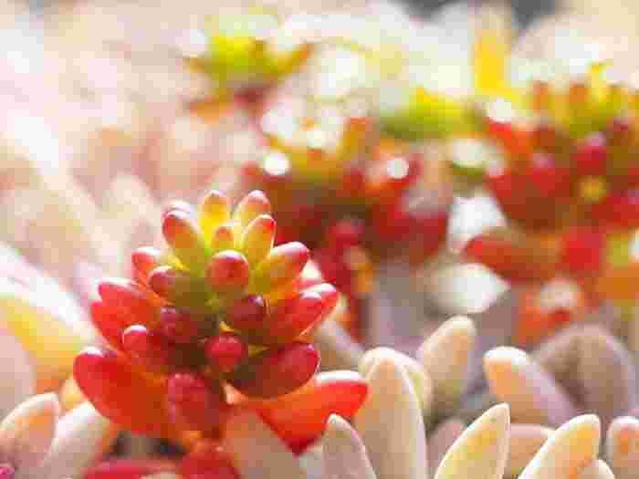 春と秋によく育つ「春秋型」で、オーロラ、虹の玉(にじのたま)、乙女心(おとめごころ)などが、人気の品種。 秋~冬にかけて紅葉し、このように、葉先から赤く染まります。緑とはまた異なる可愛らしさで魅了します。