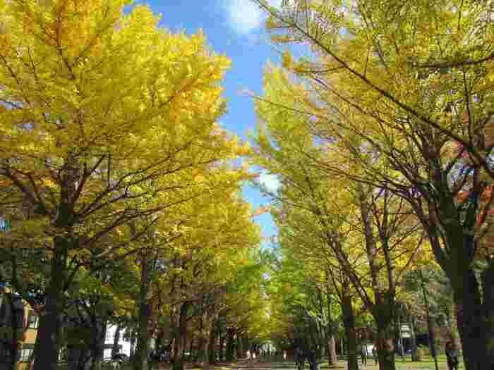 北海道大学のイチョウ並木も黄金色に。国内の大学構内は自然豊かなところが多いですが、ここでは札幌観光の上位にはいるほど美しい景色を眺めることができますよ。