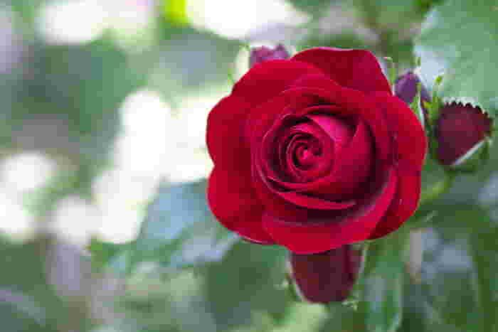 赤いバラの花言葉は、「あなたを愛してます」「愛情」「美」「情熱」「熱烈な恋」。愛する人へ贈るのはもちろん、結婚式のブーケでは純白のウェディングドレスを美しく引き立てます。ちなみに、つぼみのバラは花言葉が変わり、「純潔」「純粋な愛」「あなたに尽くします」「愛の告白」などの花言葉を持ちます。