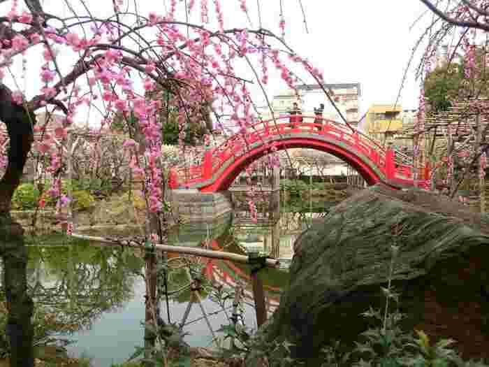 太鼓橋と枝垂れ梅も素敵ですね。