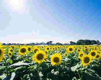 車で少し足を伸ばせば、なんと10万本ものひまわりが2万4000平方メートルの農地に花を咲かせています。 見頃は8月いっぱい。