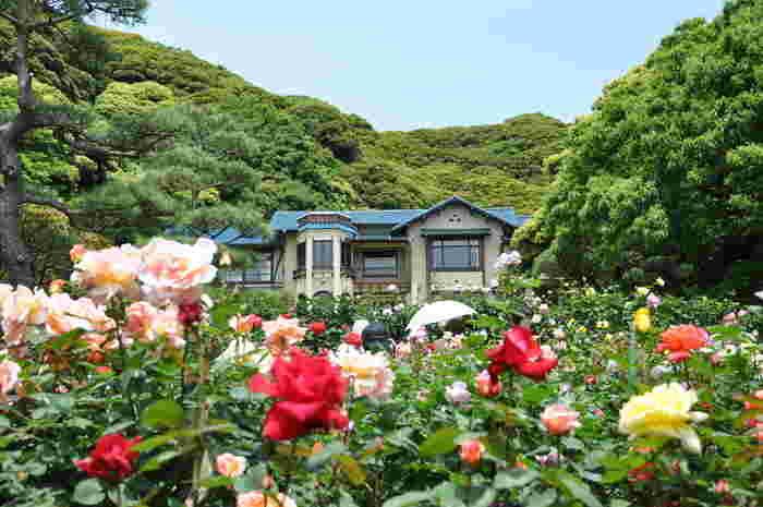 歴史ある建築物の魅力と、文学に関する充実の展示が人気の鎌倉文学館ですが、関東を代表するバラの名所としても有名です。毎年春と秋には庭園にいろいろな種類のバラが咲き乱れます。