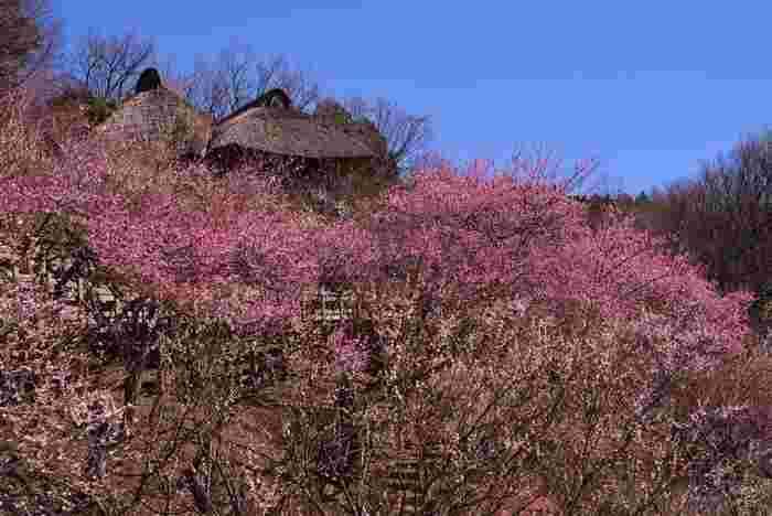 バラ科サクラ属の落葉高木。画像は100本の梅が咲き匂う2月の「梅園(うめぞの)公園」(茨城県つくば市)。