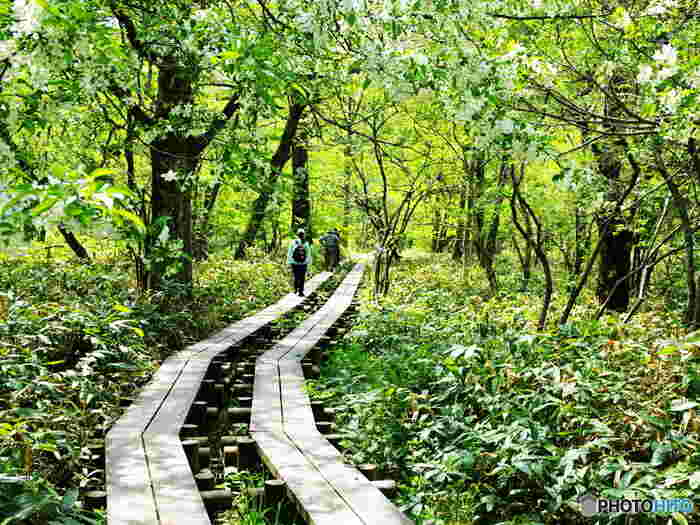 上高地では、ブナ、シラカバ、ミズナラなど豊かな原生林が生い茂っています。標高1500メートルにもかかわらず平野部の面積が広いため、よく整備された散策路では気軽にハイキングを楽しむことができます。