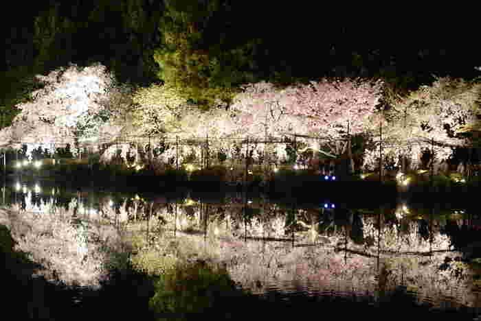 平安神宮・神苑では、夜桜鑑賞を楽しむことができます。漆黒の世闇、光を浴びて輝く桜の樹々、鏡のように樹々を映し出す静かな水面が織りなす景色は一枚の絵画のような素晴らしさです。