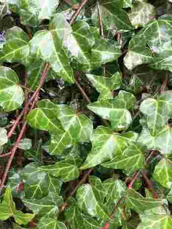 ポトスと同じく、つる性の植物アイビー。こちらも丈夫で育てやすく初心者におすすめのグリーンです。葉っぱの形が可愛らしい印象ですね。