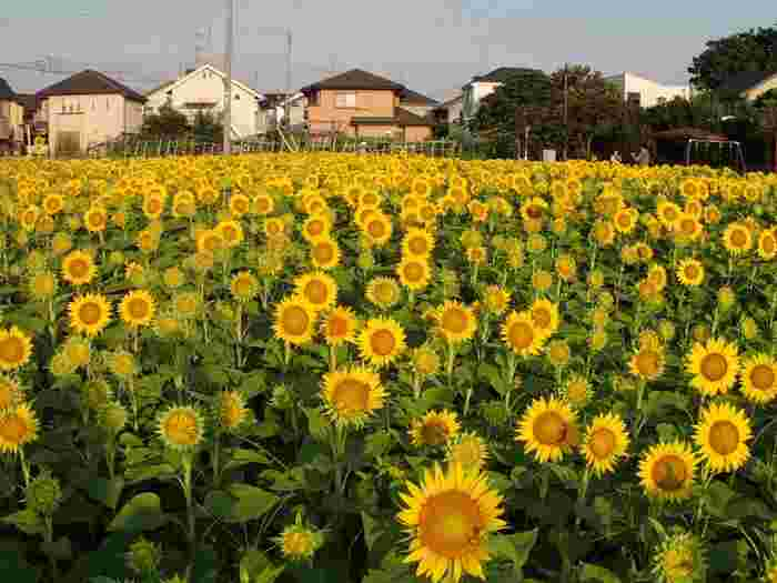場所は世田谷区。成城学園前駅、または二子玉川駅から気軽にアクセスできる場所に、約2万本ものひまわりが!8月中旬〜下旬まで楽しめます。