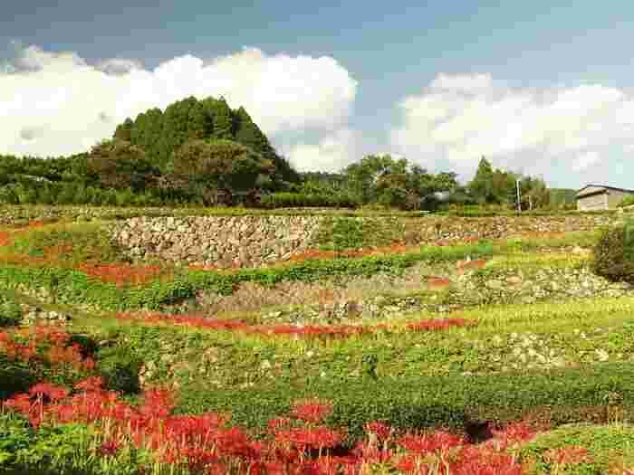秋が訪れると、棚田の畦に彼岸花が赤い花を咲かせます。緑の棚田と赤い彼岸花のコントラストの美しさは格別です。