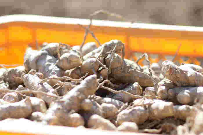 """花が春に咲くのが""""春ウコン""""、秋に咲くのが""""秋ウコン""""。  春ウコンは、ポリフェノールの一種であるクルクミンが含まれ、その他の成分のフラボノイド、ターメロン、シオネール、アズレンなども多く含まれています。非常にバランスのいい健康補助食品なので、毎日飲み続けていただきたい商品です。  秋ウコンは、数あるウコンの中でも、クルクミンがもっとも豊富に含まれています。食べ過ぎ、飲み過ぎで体のバランスを崩している時に飲む健康補助食品としておすすめです。"""