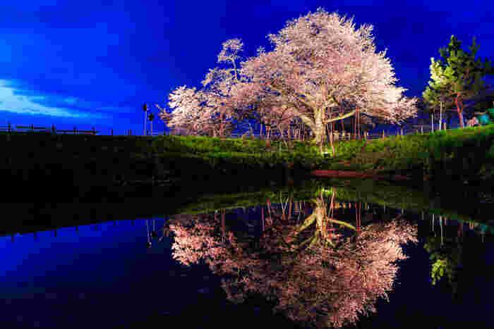 ライトアップされた浅井の一本桜は、幻想的な雰囲気を放ち、観る人の心を揺さぶります。桜のピンクと空の色のコントラストが美しく、じっくりと眺めたくなる迫力です。