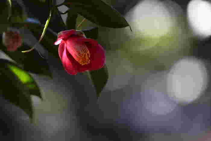 寒い季節は街から色が消えてさみしい印象を抱く方も多いかもしれませんが、冬に見頃を迎えるお花も実はあるんですよ。冷たい空気の中に凛とたたずむ椿や、上品な水仙など、美しく咲く「冬の花」を探しに出かけませんか?