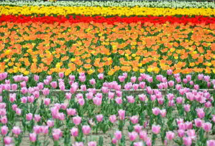 毎年春になると広大な水田には色とりどりのチューリップが競うように咲き誇り、裏作を利用した水田は、関東でも最大級の規模を誇るチューリップ畑へと変貌します。