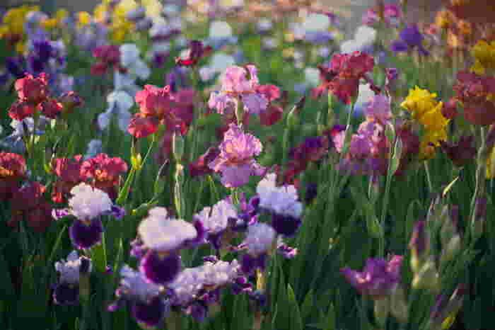 """アヤメ科アヤメ属。学名のIrisは、ギリシア語で""""虹""""意。画像はジャーマンアイリス。花言葉は「燃える思い」「情熱」。"""