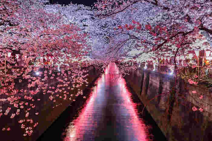 目黒川では、夜になると桜並木のライトアップが行われます。夜空を覆いつくす程に開花した桜の花、夜の闇を映した川面が織りなす神秘的な光景は、訪れる人々を魅了してやみません。