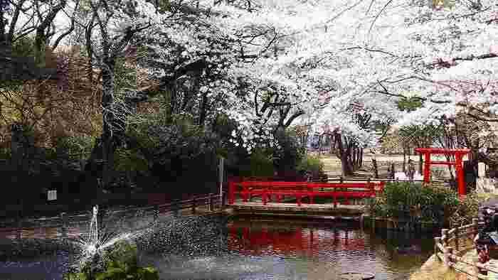 バラの名所として有名な与野公園。実は約300本のソメイヨシノがあり、隠れた桜の名所でもあるんです。