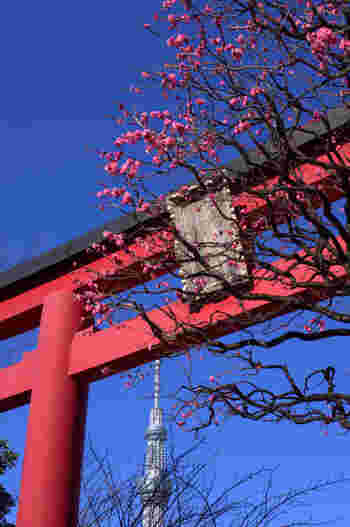 梅の見頃は、毎年2月中旬~3月上旬。スカイツリー、鳥居、梅の花…絵になるアングルがたくさんありそうですね。