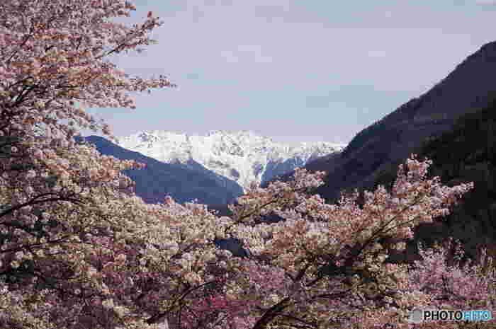 南信州を代表する桜の名所として知られている大西公園では、春になると約3000本、120種類の桜が一斉に花を咲かせます。残雪が残る南アルプスの峰々を背景に、麓が桜色に染まり、大西公園は絵画のような景色となります。