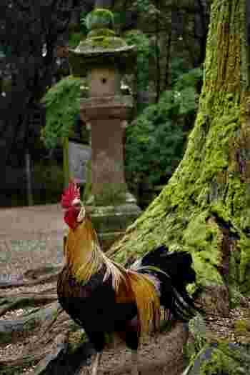 御神鶏たちは、境内で放し飼いにされています。国の天然記念物の指定されており、日本三大長鳴鶏の一つでもある長鳴鶏(とうてんこう)も間近で見ることができます。