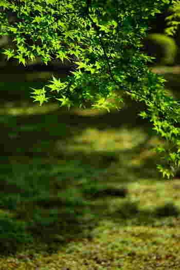 楓と苔。 紅葉の時期は言わずもがなですが、青葉の頃も深淵な雰囲気が楽しめます。