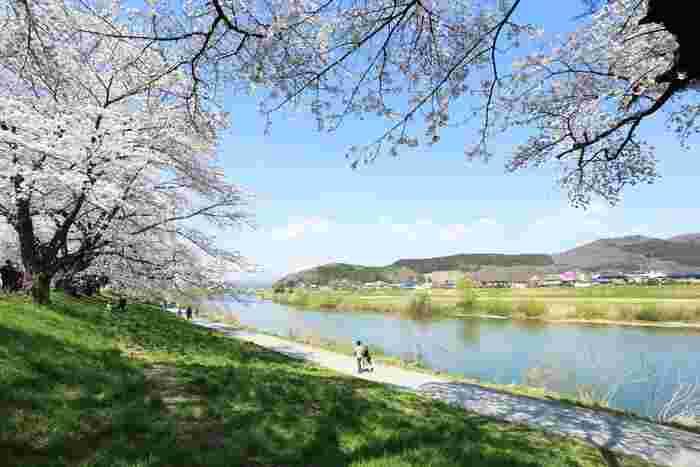 東北屈指の桜の名所「白石川堤一目千本桜(ひとめせんぼんざくら)」。白石川沿い約8kmにわたって約1,200本の桜並木が続いています。見ごろを迎える4月上旬頃は、遠方から訪れる観光客も多い人気のスポットです。