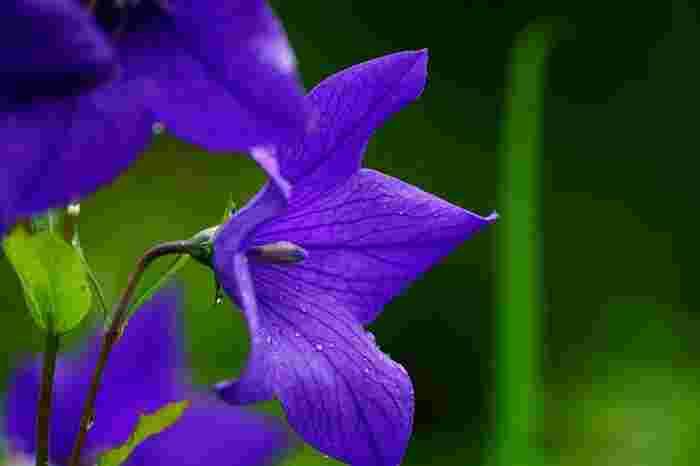 透明感のある湿地の緑も然ることながら、当園に咲開く季節の花々も魅力。【夏から秋に開花する「キキョウ」】