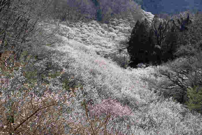 西渓園は、織姫山の西側傾斜地に位置する梅林で、約1200本の梅が植樹されています。梅が見頃を迎えると、約1200本の梅が競うように花を咲かせ、大地は桃色に染まり、西渓園は一枚の絵画のような景色へと変貌します。