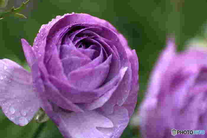 ラナンキュラスは薄い花びらをたくさん重ねた姿が気品に満ちた春の花。紫のラナンキュラスには「幸福」という花言葉が付けられており、お祝いにおすすめです。また、ラナンキュラス全般の花言葉も「とても魅力的」「晴れやかな魅力」ととってもポジティブ。感謝や送別に贈るのもいいですね。
